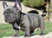 Tenemos cachorros lindos y excepcionales frenchi