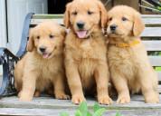 Adorables cachorros de golden retriever a la venta