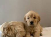 ¡conoce a estos adorables cachorros de golden retr