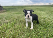 Lindas cachorros de boston terrier