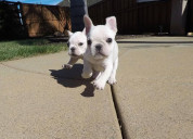 Venta de cachorros hermosos cachorros de bulldog f